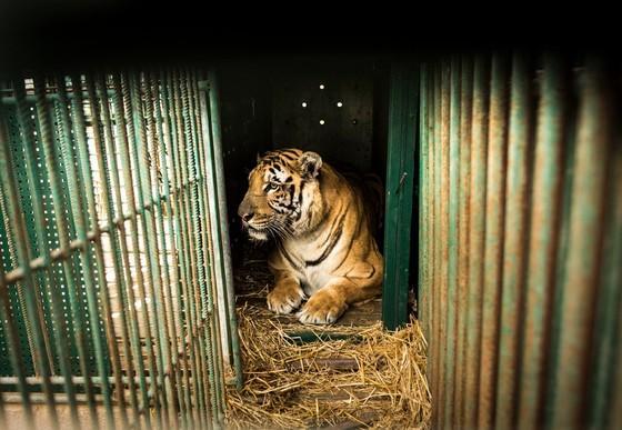 Tiger in engem Käfig