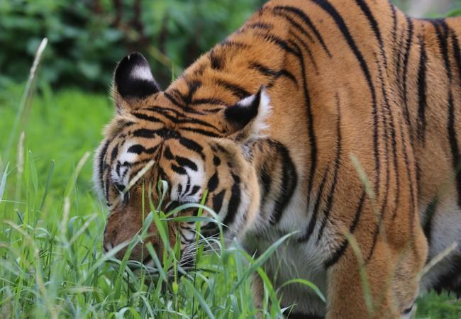 Tigress Dehli enjoying the grass