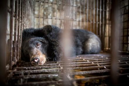 Black bear behind bars at bile farm