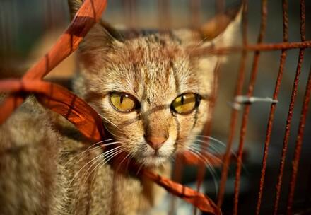 Cat in cages, victims of the dog and cat meat trade