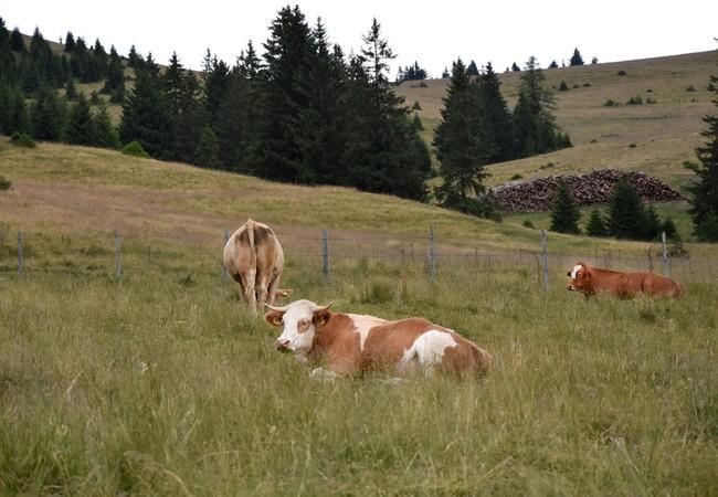 Rinder auf der steirischen Alm