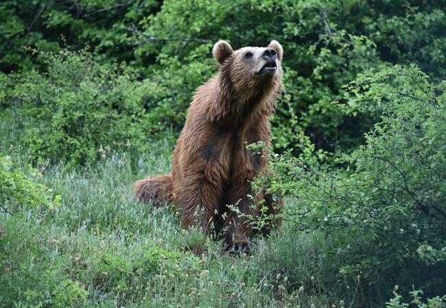 Bear Pashuk at BEAR SANCTUARY Prishtina, 2020