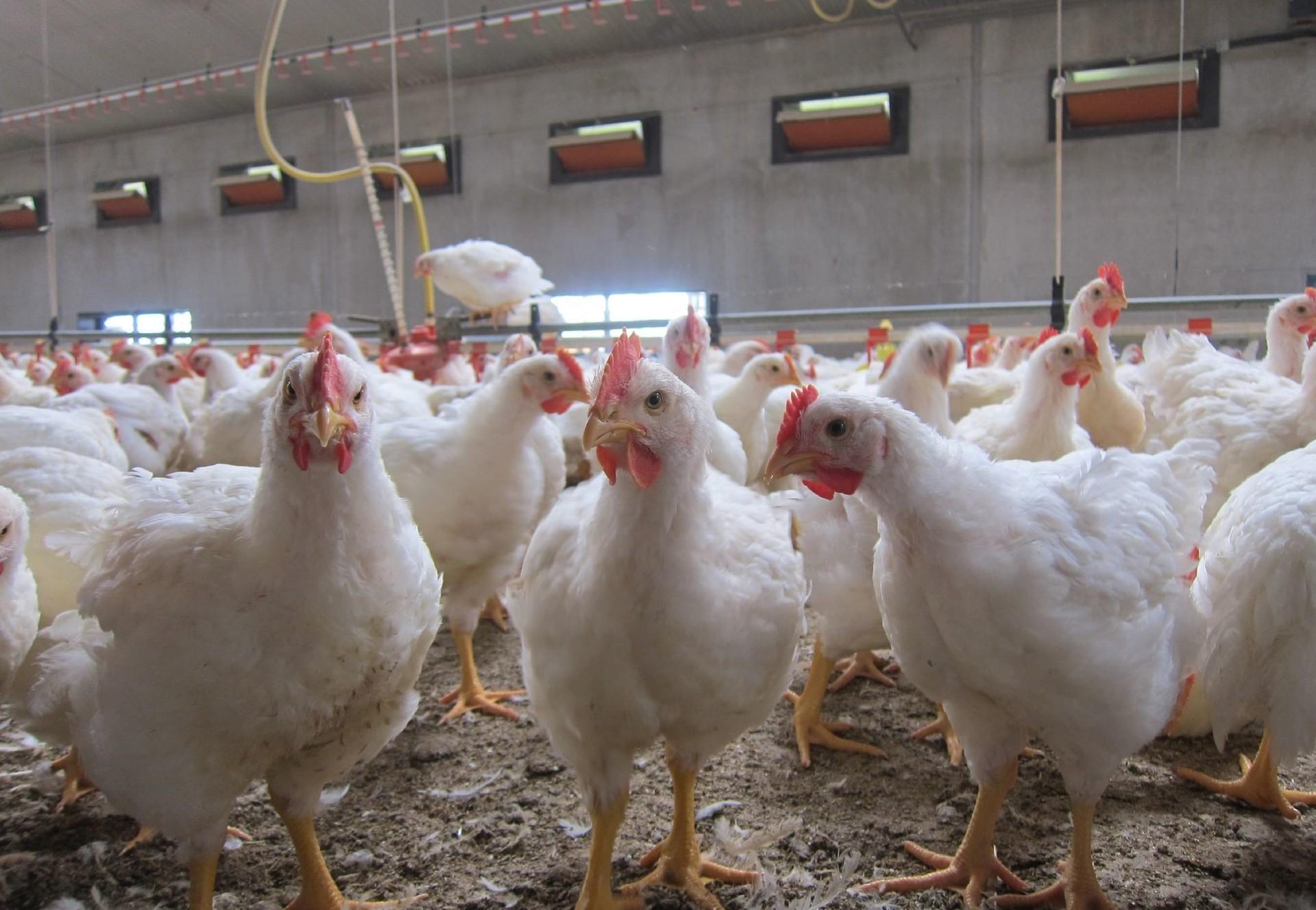 Les poulets de chair