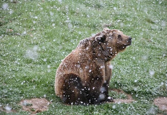 Brown bear Vivi in the snow