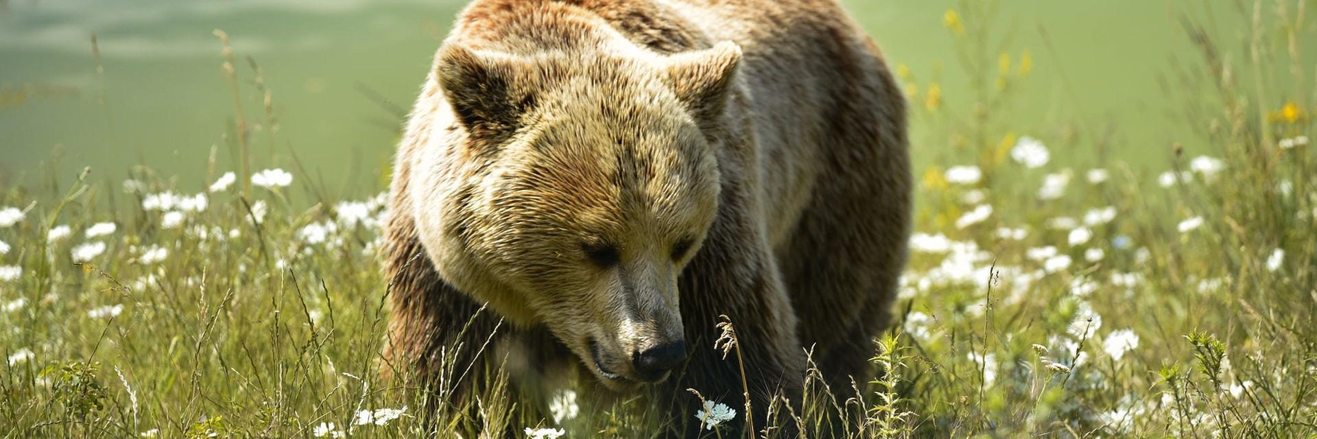Bear Mira on a flowery meadow in a sanctuary
