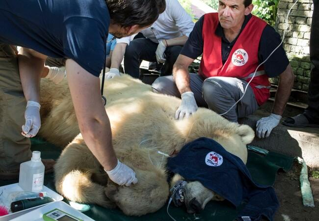 Le sauvetage de l'ours Napa