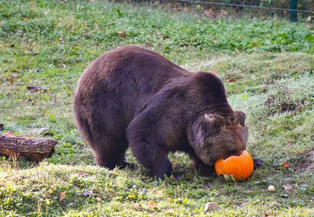 Pompoen voor een beer