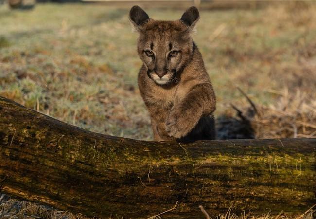 Puma Tikam