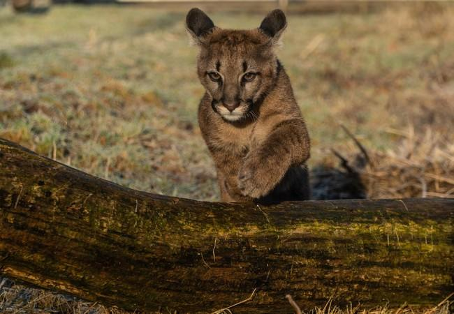 Puma cub Tikam