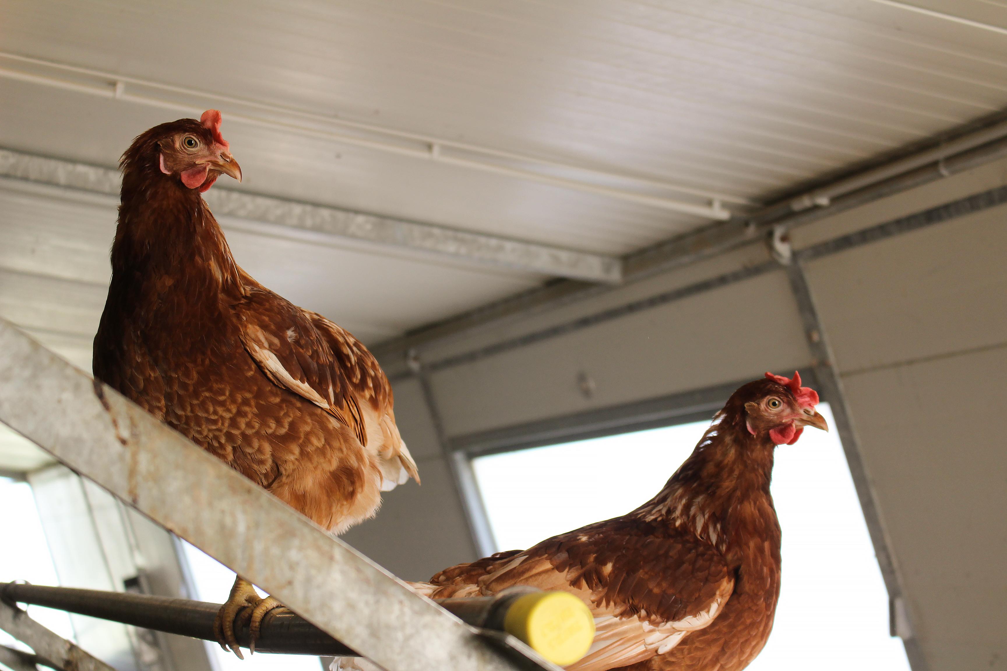 Кокошки във ферма