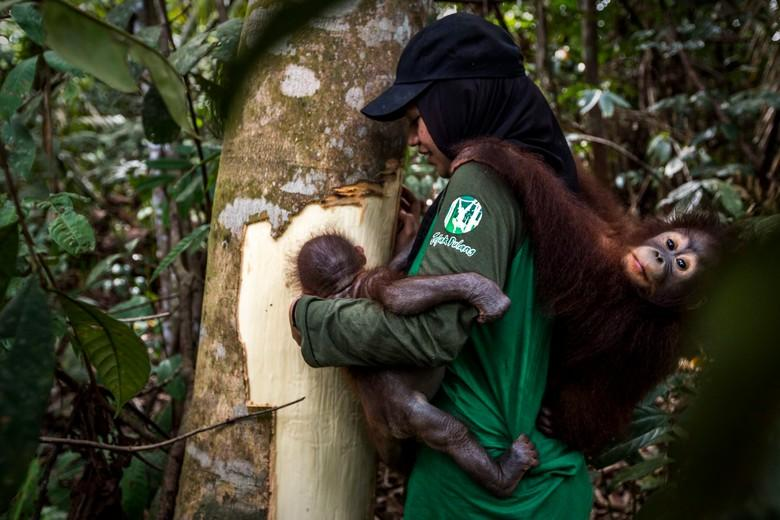 Caregiver showing orangutan orphan cambium