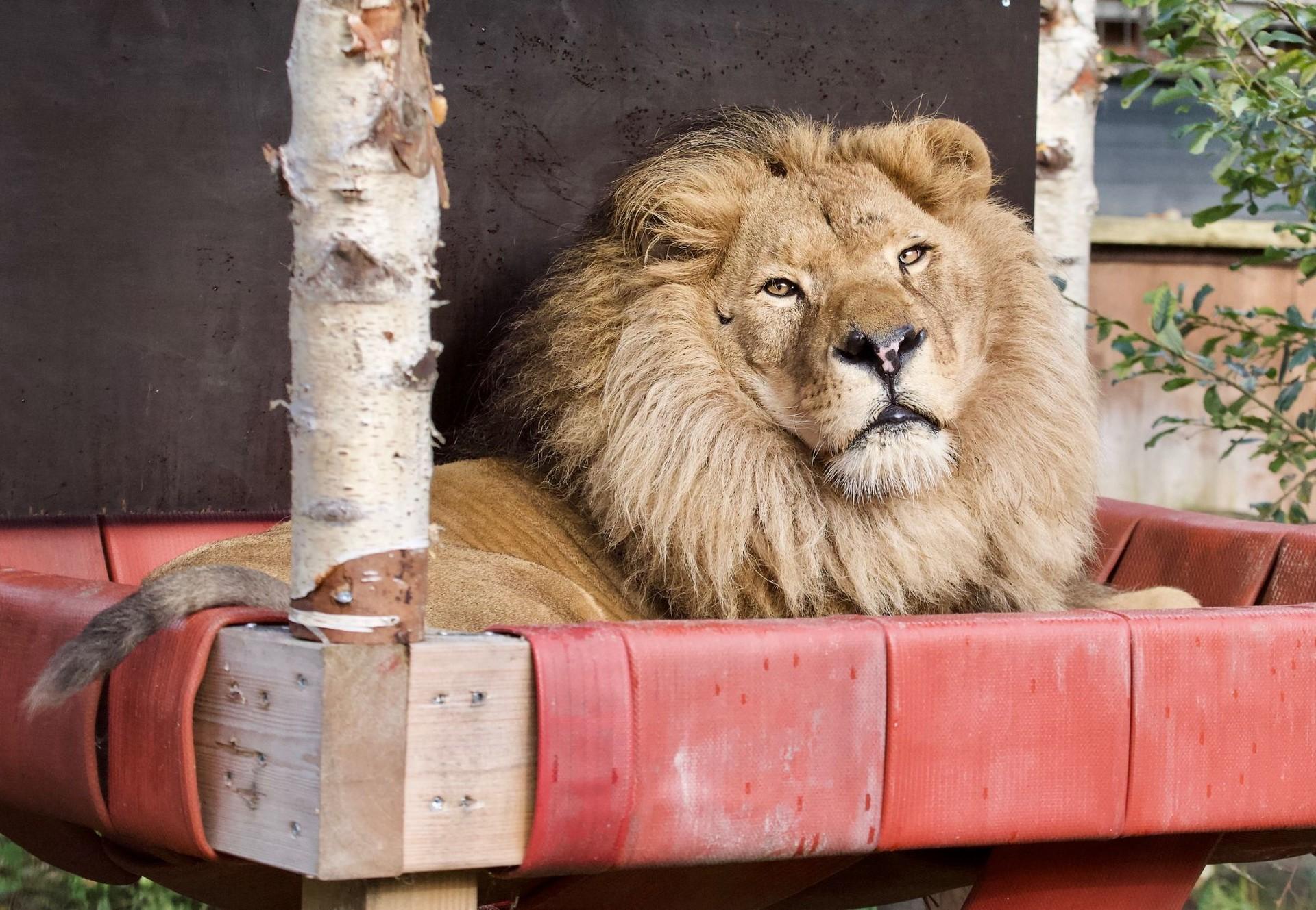 Leeuw Bobby bij FELIDA