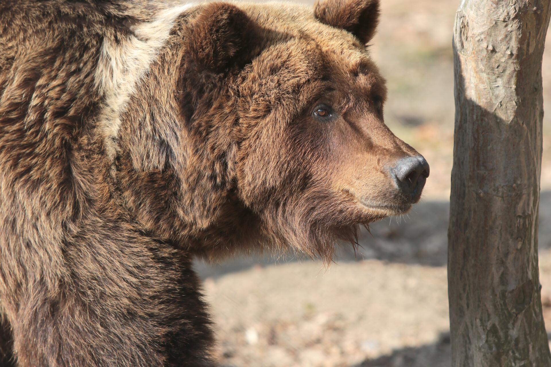 L'ourse Laska