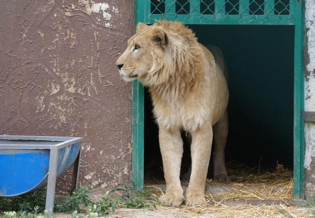 Löwe Simba betrachtet sein neues Zuhause vorsichtig