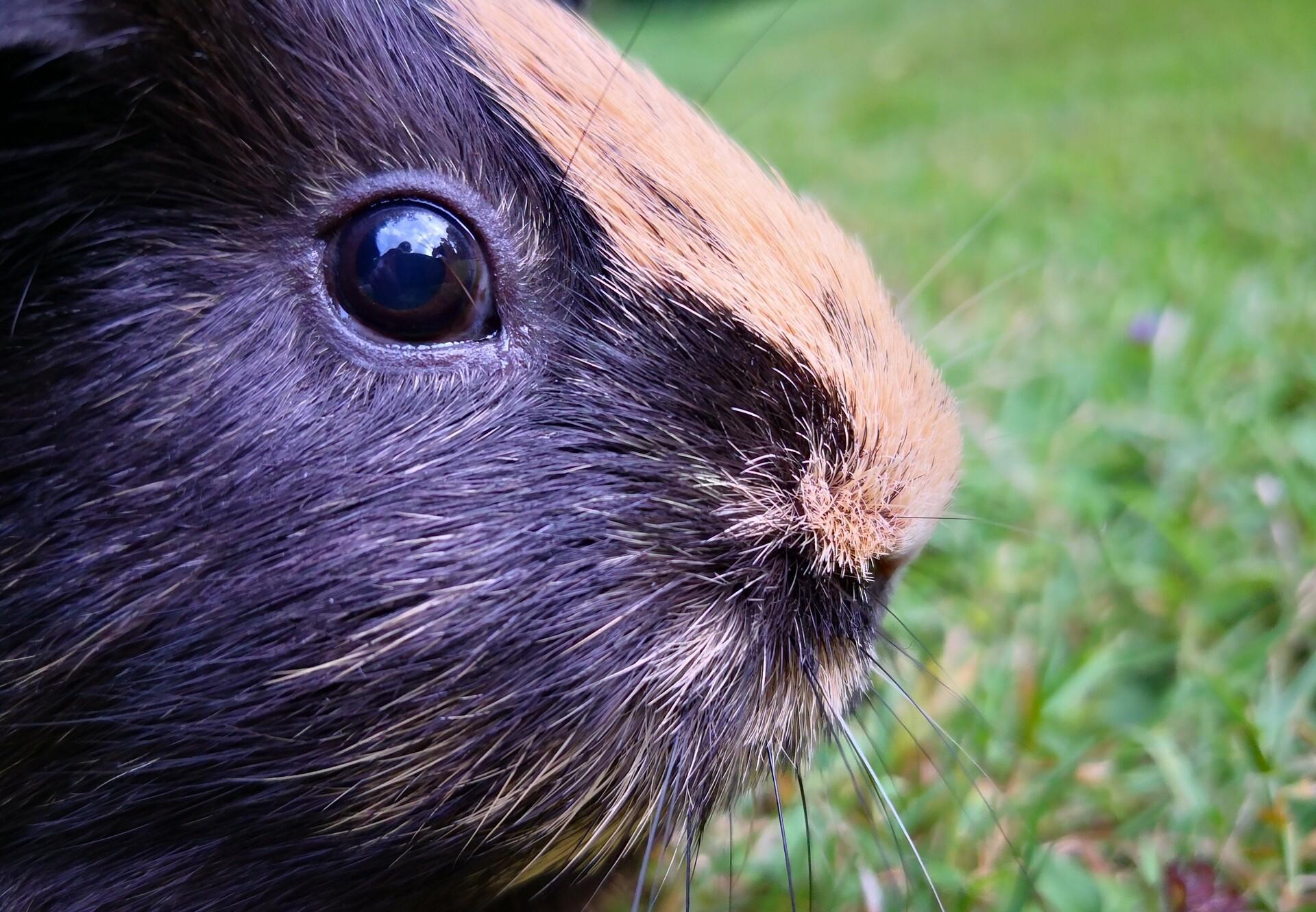 13 faits intéressants sur les cochons d'Inde