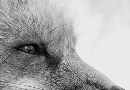 Fox looking off camera