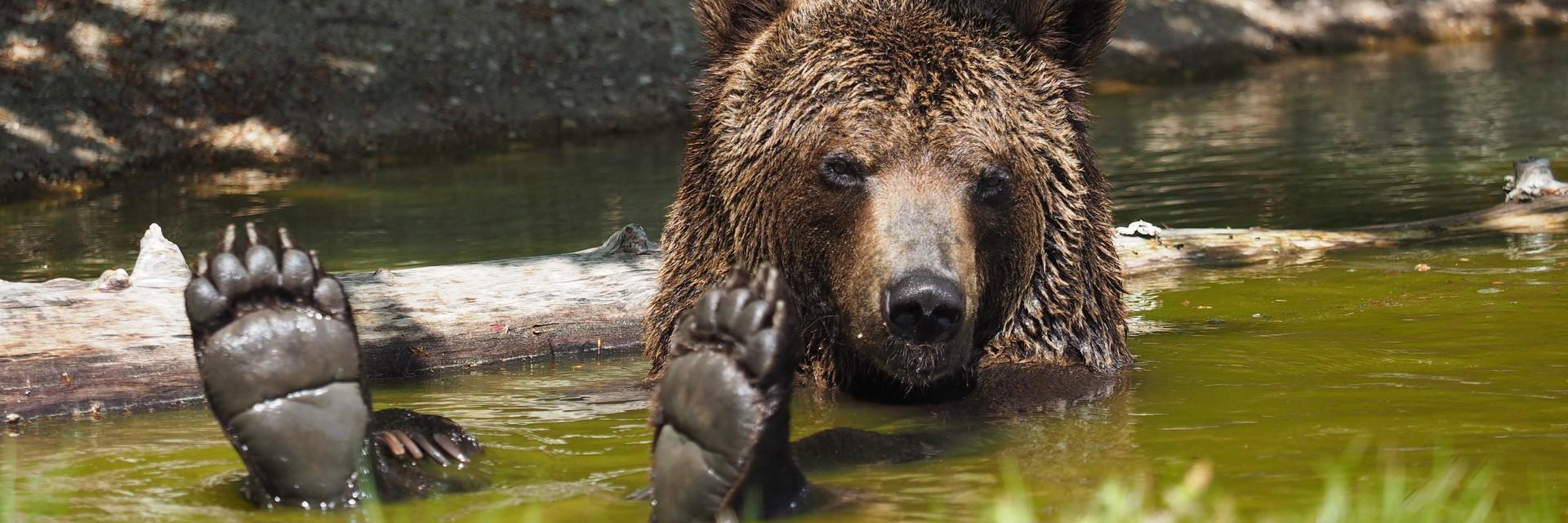 Bear Erich at the Bear Sanctuary Arbesbach