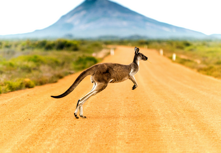 Kangaroo on road