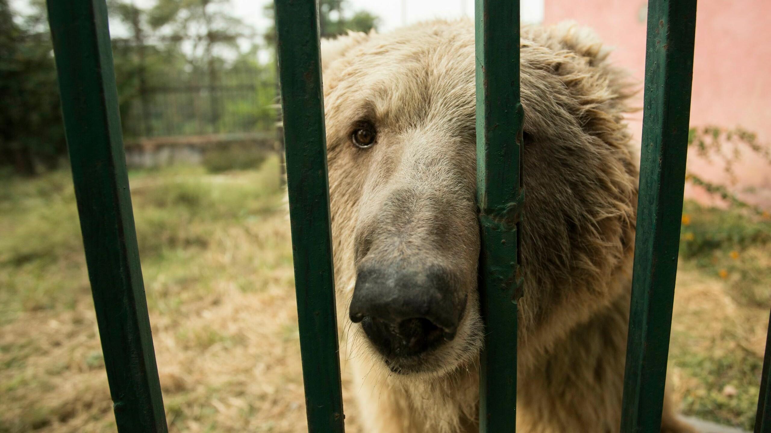Eisbär hinter Gitterstäben