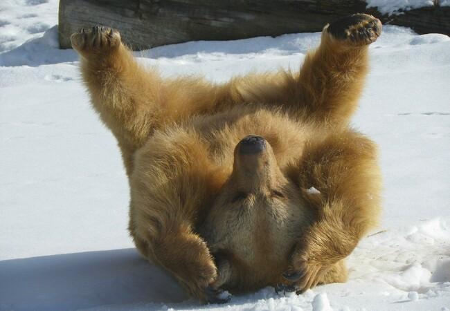 Bär Vinzenz beim Spielen im Schnee