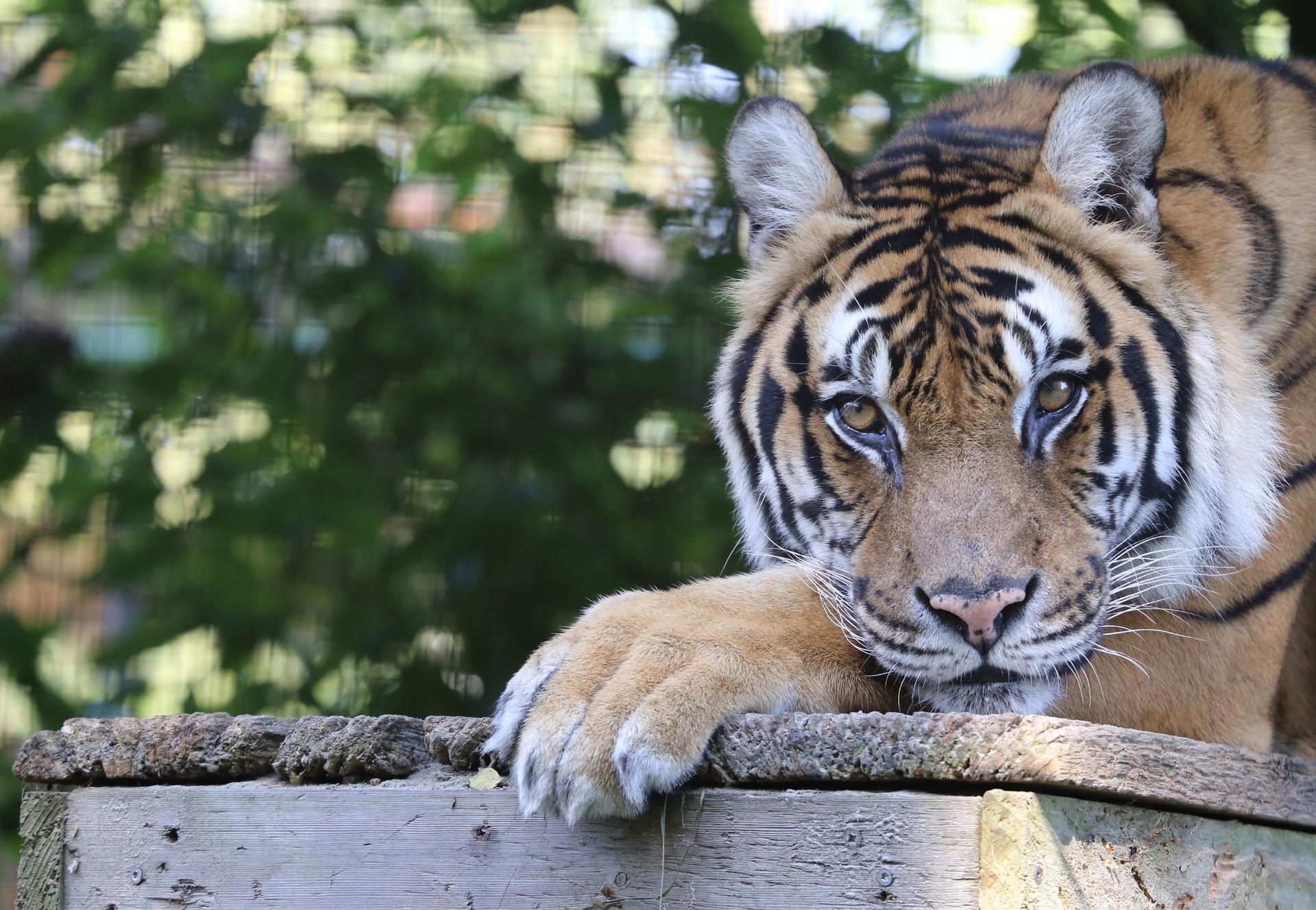 Tiger Rajah