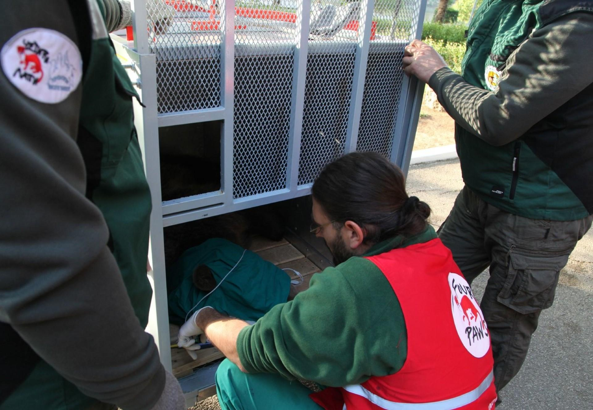 Transfer of rescue bear