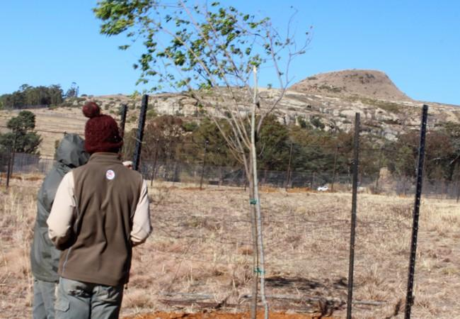 Workers checking on the newly planted trees