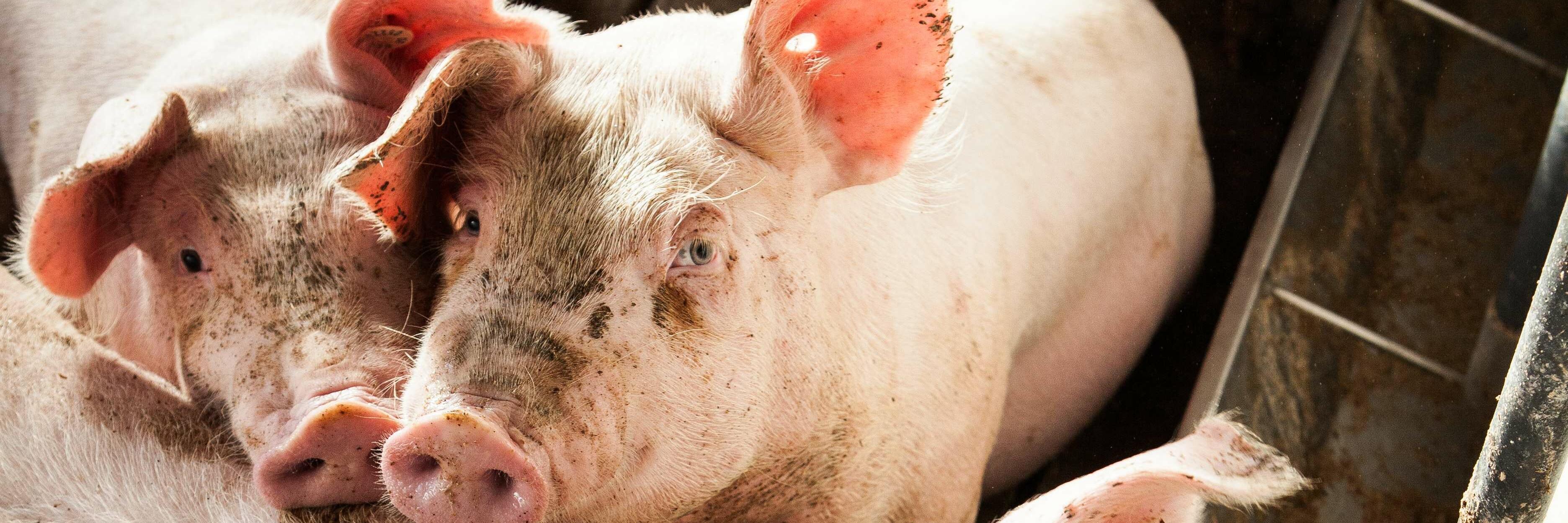 Schweine in intensiver Massentierhaltung
