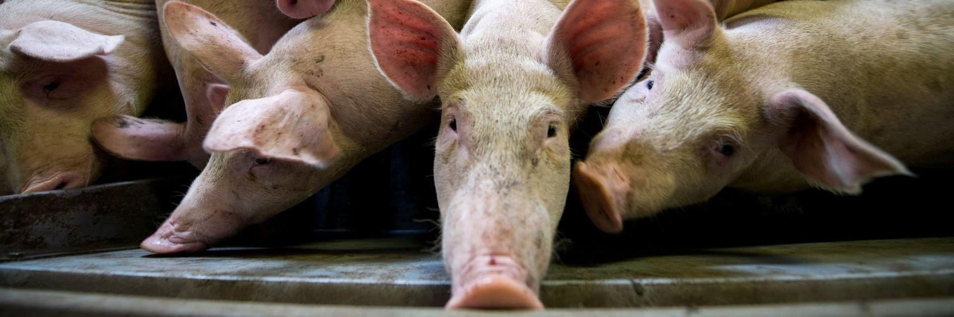 Factory farming of pigs