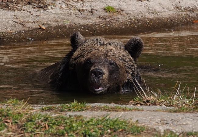 Bärin Emma genießt ein ruhiges Bad im Teich