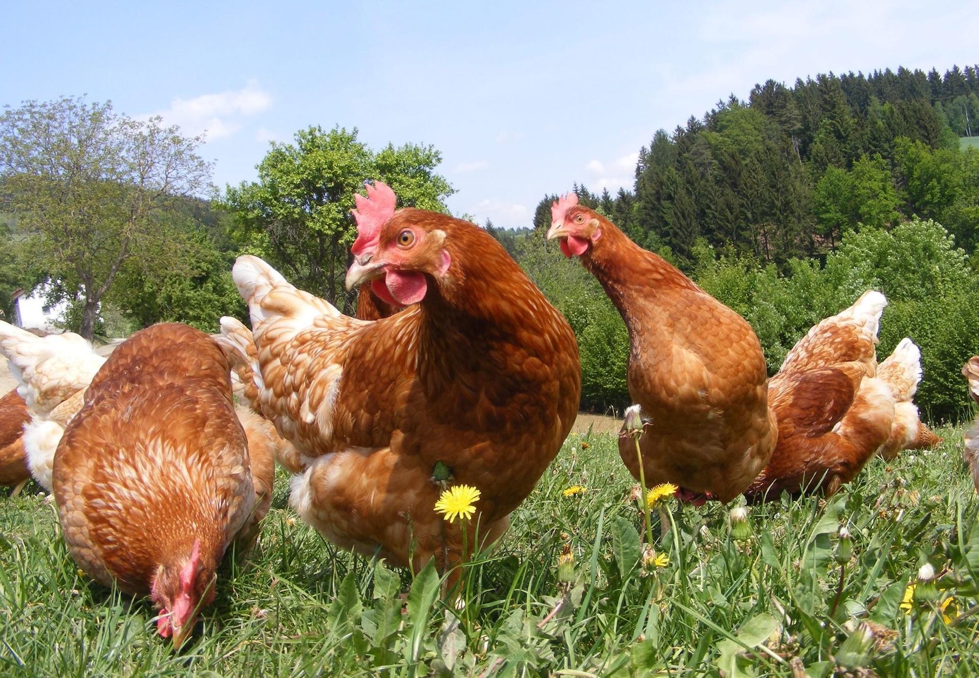 Freilandhühner auf einer grünen Wiese