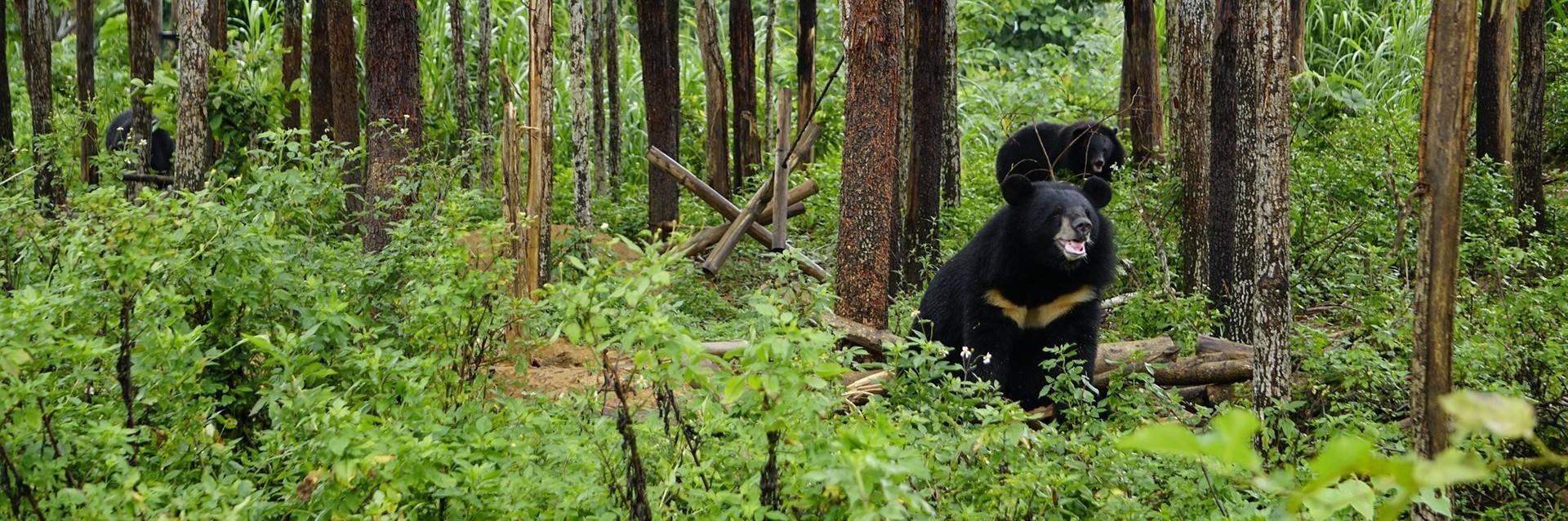 Asiatic black bear in the woods at Ninh Binh