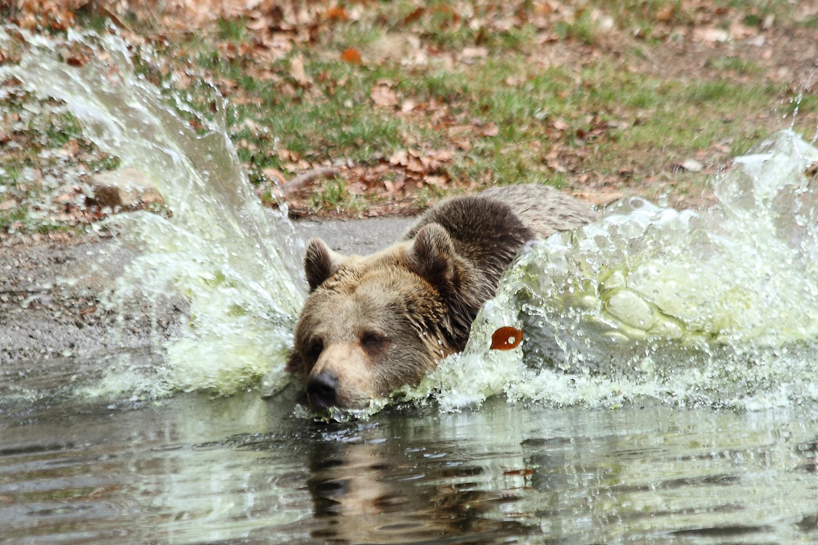 Bärin Brumca springt in den Teich