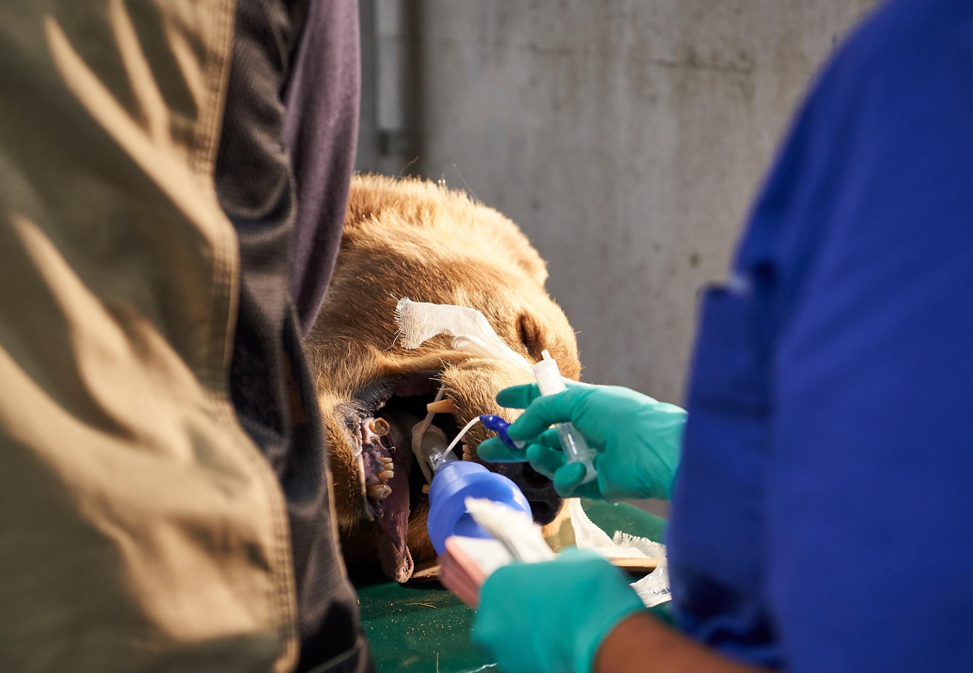 Bär Napa wird operiert