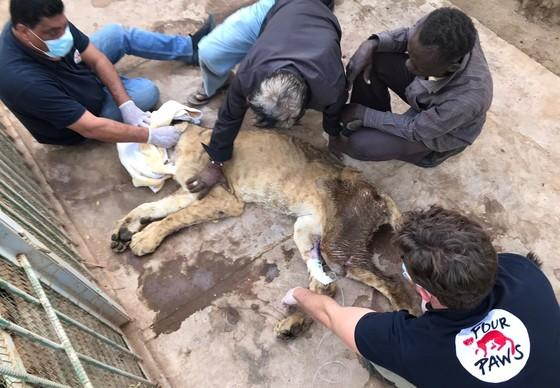 Starving lioness receiving treatment