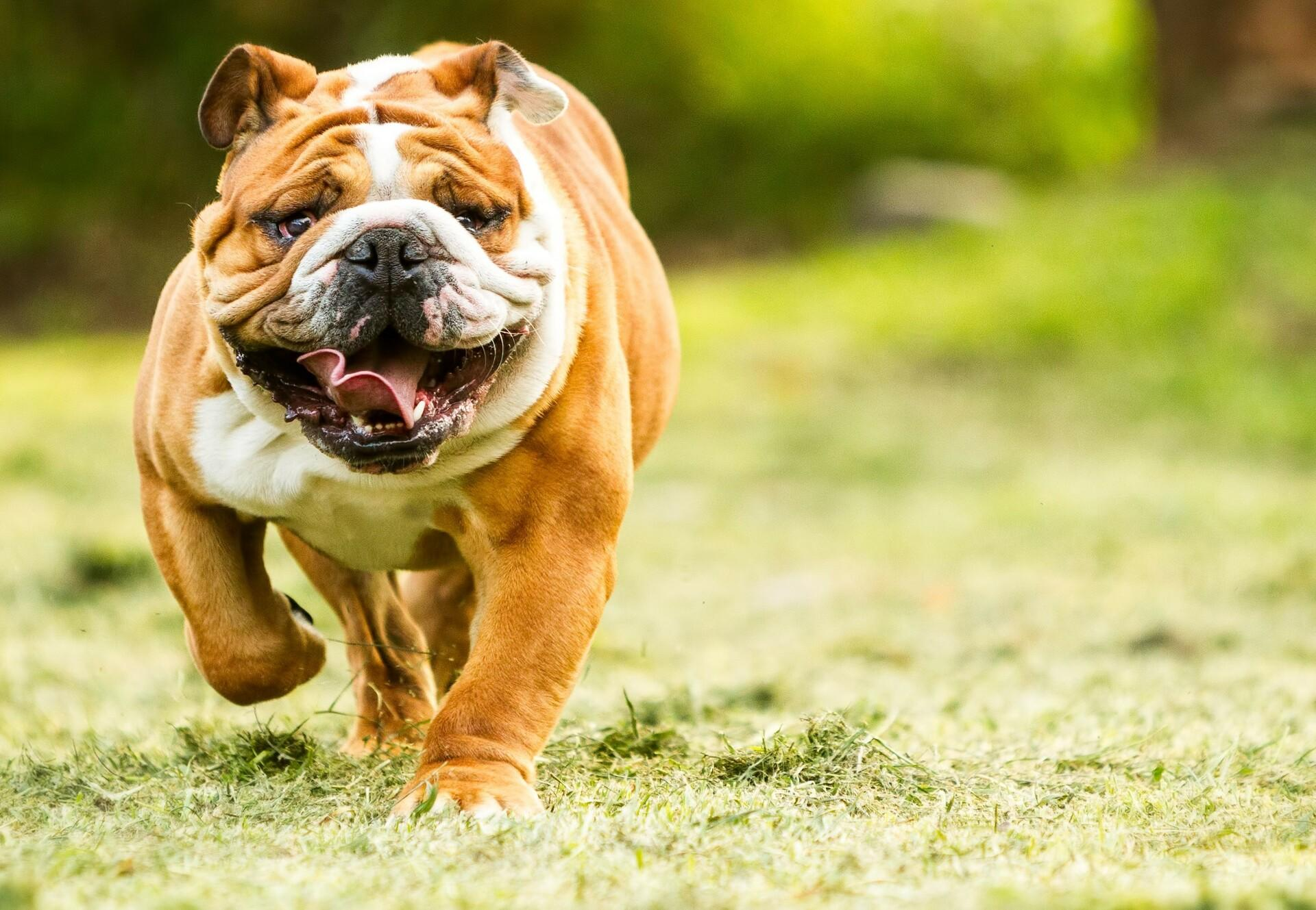 The breed standard for Bulldogs is one example