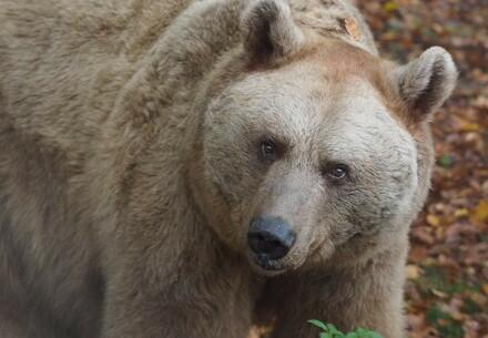 bear Vinzenz