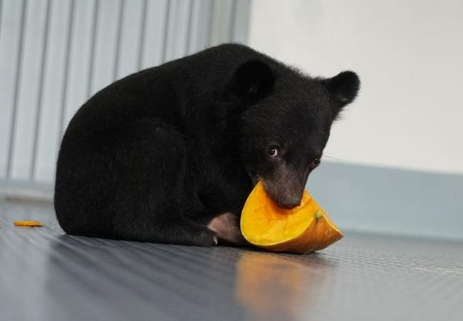 black bear cub eats pumpkin