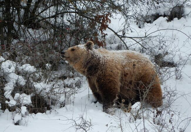 Bear Ero in the snow at BEAR SANCTUARY Prishtina