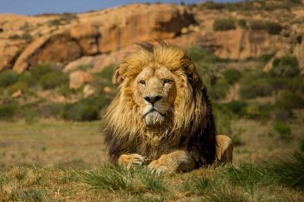 Löwe im Grosskatzen-Refugium LIONSROCK