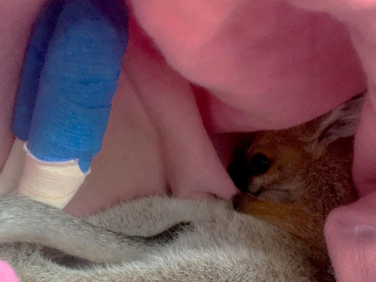 Wallaby injured in Australian bushfires