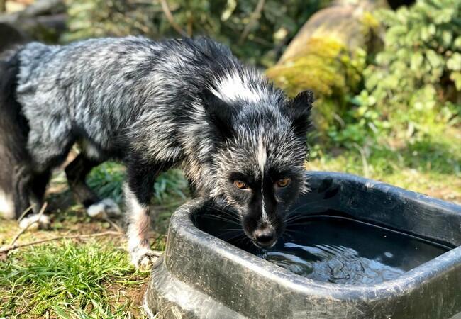 Silver fox Jackson at TIERART