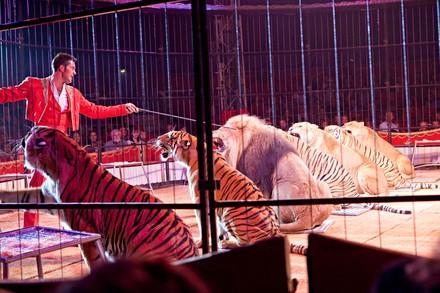Löwen und Tiger im Zirkus Knie