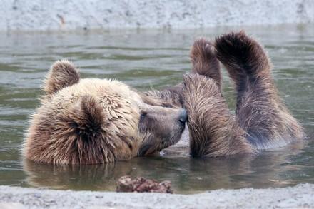 Bär Bodia geniesst das kühle Nass
