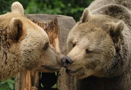 Brown bears Vinzenz and Liese