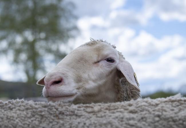 Um mouton mérinos