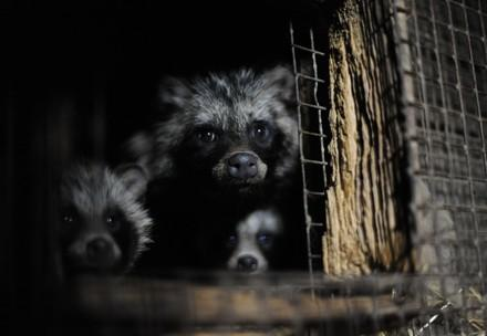 Raccoon dogs in a cage
