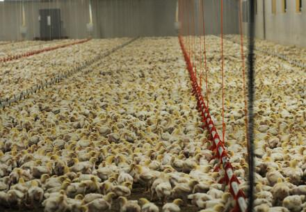 Chicken in cramped conditions