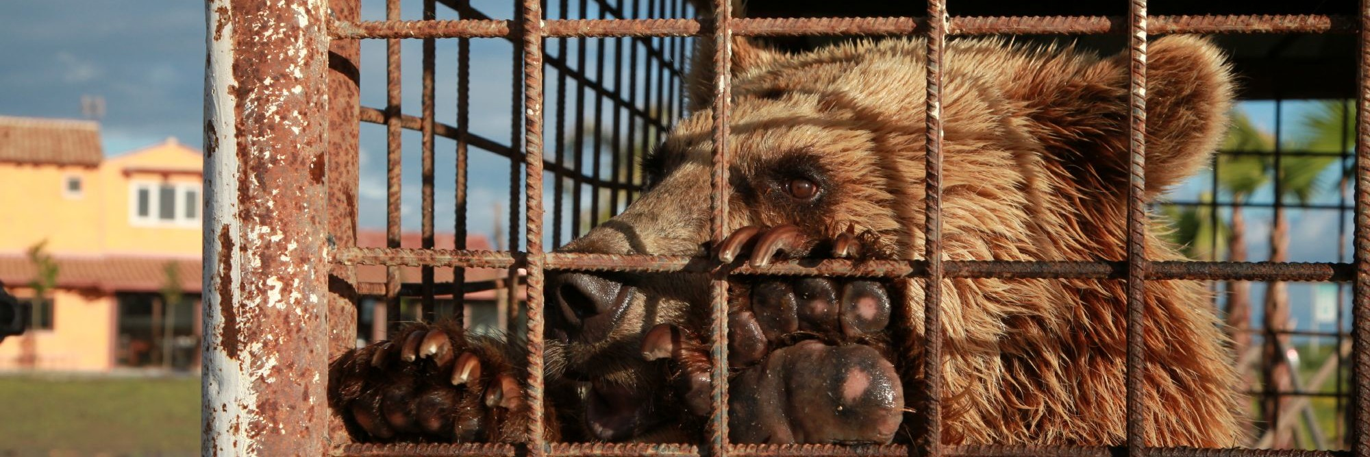 Bear in a cage in Albania