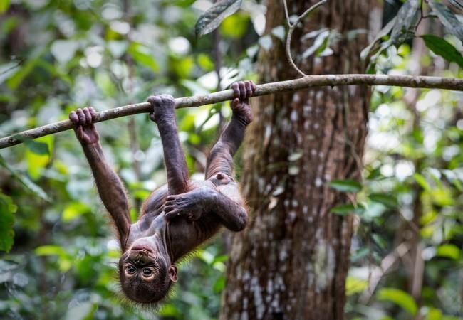 Orang-Utan Gerhana turnt schon fleißig in der WALDSCHULE herum